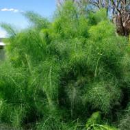 Marar (ghiveci 10,5 cm), rasad planta aromatica Anethum graveolens