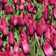 Merlot (9 bulbi), lalele rosu mov, bulbi de flori