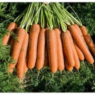Namdal F1 - 25.000 sem - Seminte de morcovi (calibru seminte > 2.0 mm) tip Nantes cu sistem foliar bogat ce permite recoltarea mecanizata avand o capacitate medie de pastrare de la Bejo