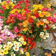Nemesia strumosa - Macaleandru mix (0,3 g), seminte de planta anuala cu flori colorate in rosu, roz, galben, portocaliu, Opal
