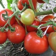 Nikolina F1 (0.5 gr) seminte rosii hibrid determinat timpuriu, Florian Bulgaria