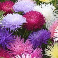 Ochiul Boului Supreme Mix - Seminte Flori Ochiul Boului cu petale ascutite, de la Opal