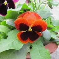 Panselute - 0.2 gr - Seminte flori Pansele Portocaliu cu Negru Orange Sun portocalii de la Florian
