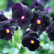 Panselute negre (0,1g), seminte de panselute catifelate negre, Agrosem