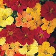 """Papucul Doamnei """"Glorious Gleam"""" (3 g), plante cu flori colorate Condurul Doamnei, utile in indepartarea insectelor daunatoare ale legumelor, Horti Tops"""