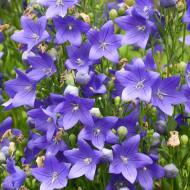 Platycodon Blue (1 bulb), plante perene cu flori mari stelate, albastre, bulbi de flori