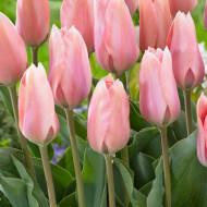 Poco Loco (8 bulbi), lalele roz, bulbi de flori