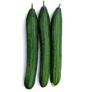 Proloog F1 - 1000 sem - Seminte de castraveti lungi de sera ce se remarca prin productivitate ridicata cu dimensiuni ce variaza intre 35-38 cm de culoare verde inchis si un invelis neted de la Rijk Zwaan