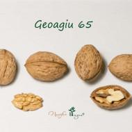 Puiet de nuc selectionat Romanesc Geoagiu 65, anul 2, pom fructifer nuc, greutatea medie a fructului este de 14 grame, Nucifere Regia
