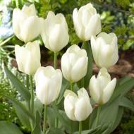 Purissima (5 bulbi), lalele albe, bulbi de flori