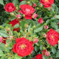 Rosa Mini Red Fairy (ghiveci 1,5 l), trandafir pitic cu flori rosii stralucitoare