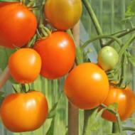 Rosii Zloty Ozarowski (1 kg), seminte de tomate portocalii, soi semitimpuriu, crestere nedeterminata, Agrosem