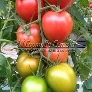Rozabella – 50 sem – Seminte Tomate Roze cu Crestere Nedeterminata Soi Semitimpuriu pentru Camp de la Geosem
