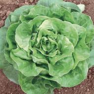 Salata Minunea Iernii Winter Marvel (1800 seminte) de salata soi semi-timpuriu de iarna, Opal