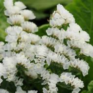 Saraturica alba(0.15 grame) seminte de flori puternic ramificate, Agrosem