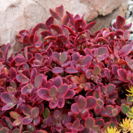 Sedum Sun Sparkler Wildfire (ghiveci 1 L), planta suculenta vesnic verde, frunze rubinii-purpurii, iarba grasa