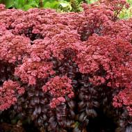 Sedum telephium Dark Magic (ghiveci 1 L), planta suculenta vesnic verde, frunze violet-bordo inchis, flori roz, iarba grasa