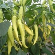 Seminte ardei iute Fortesse F1 (500 seminte), generativ, De Ruiter Seeds