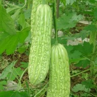 Seminte castraveti amari Momordica Charantia (10 seminte), Florian