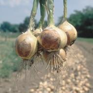 Seminte ceapa Fredo F1 (10.000 seminte), ceapa de pastrare, agroTIP