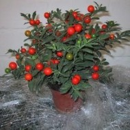 Seminte planta decorativa Cires de Craciun (0.5gr), necomestibila, Florian