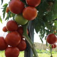 Seminte rosii Alvaro F1 (9 seminte), extratimpurii, Agrosel