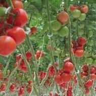 Seminte rosii Komeett F1 (1000 seminte), timpurietate medie, Seminis