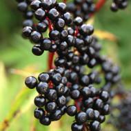 Soc Negru (Sambucus nigra) butasi de soc negru planta XXL, Yurta