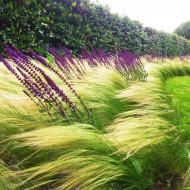 Stipa tenuissima sau Coada de ponei (0.03 gr de seminte) de iarba decorativa gratioasa cu frunze argintii, Laktofol