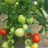 Tomate Florina 44 (1500 seminte) de rosii romanesti cu crestere determinata de la SCDL Buzau