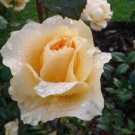 Trandafir Casanova (1 butas), trandafir galben, butasi de trandafiri