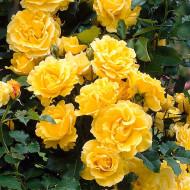 Trandafir catarator Golden Showers (1 butas), galben intens flori bogate, butasi de trandafiri