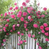 Trandafir catarator Parade, (1 butas in ghiveci 2 l) de trandafiri urcatori cu inflorire repetata, parfum discret si flori mari, de culoare roz luminos, Yurta