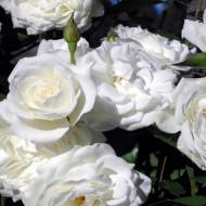 Trandafir Cristal (1 butas), trandafir polyanthe cu flori bogate, albe, butasi de trandafiri