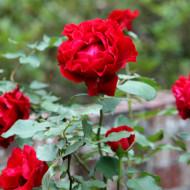 Trandafir Don Juan (1 butas), trandafir rosu inchis catarator, butasi de trandafiri