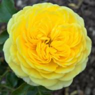 Trandafir Inka (1 butas in ghiveci 2 l) cu flori foarte bogate in petale, galben-aurii, butasi de trandafiri Tantau