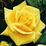 Trandafir Landora (1 butas), trandafir cu flori galbene, stralucitoare, butasi de trandafiri