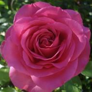 Trandafir Lucia Nistler (1 butas), roz cu parfum intens, butasi de trandafiri