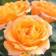 Trandafir pitic Clementine (1 butas in ghiveci 2 l) cu flori mici, bogate, de culoare galben-chihlimbar, butasi de trandafiri Tantau