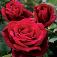 Trandafir Polyantha Mister Lincoln (1 butas), trandafir cu flori duble, rosii ca sangele, foarte parfumate, butasi de trandafiri