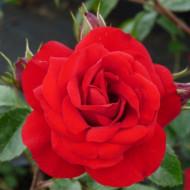 Trandafir Simpathia (1 butas), trandafir rosu cardinal radiant urcator, butasi de trandafiri