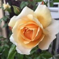 Trandafir Teahybrid Casanova, butasi de trandafiri cu inflorire repetata, cu flori mari, bogate, de culoare eleganta crem, Yurta
