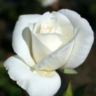 Trandafir Teahybrid Virgo (1 butas in ghiveci 2 l), trandafir cu flori mari, albe, butasi de trandafiri