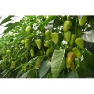 Trusheni F1 - 1000 sem - Seminte de ardei gras conic cu crestere nedeterminata si fructe stralucitoare groase uniforme ajungand la o greutate de 100-120 grame de la Duna-R