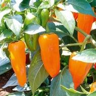 Urechea Portocalie - 5 gr - Seminte de Ardei Capia culoare Portocalie de la Superior Serbia