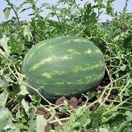 Vasko F1 - 1000 sem - Seminte de pepene verde timpuriu tip Crimson rotund alungit 10-12 kg de la Hazera