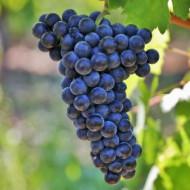 Vita de vie Feteasca Neagra, butas de vita de vie soi romanesc, ideal pentru vinuri rosii de calitate superioara, Yurta