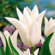 White Triumphator (8 bulbi), lalele albe, bulbi de flori