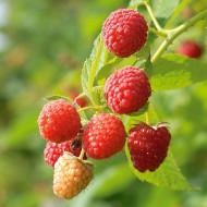 Zmeur Englezesc, butasi de zmeura soi cu fructe mari, intens aromate, Yurta