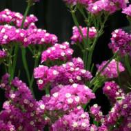 Saraturica roz (0.15 grame) seminte de flori puternic ramificate, Agrosem